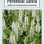White perennial salvia