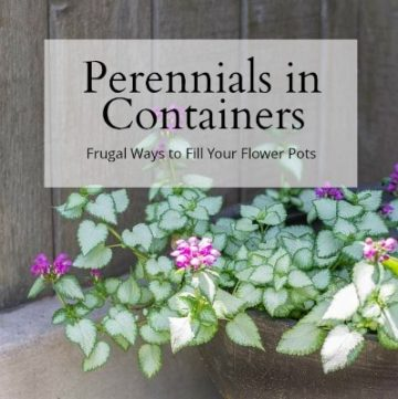 perennial for containers