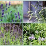 Photos of lavender