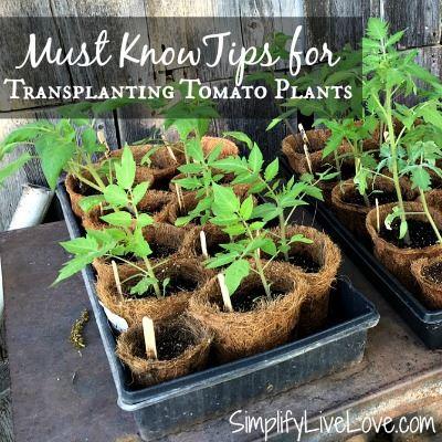 Transplanting tomato tips - Simplify Live Love
