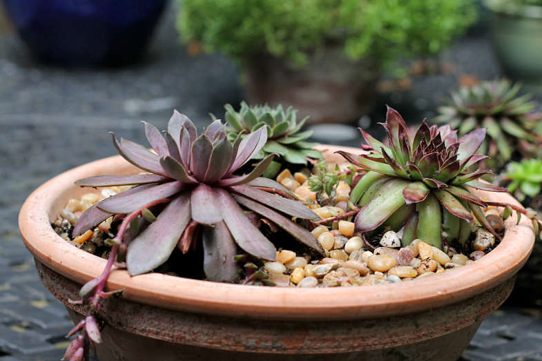 Sempervivum in pot