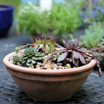 Pot of hens and chicks succulents