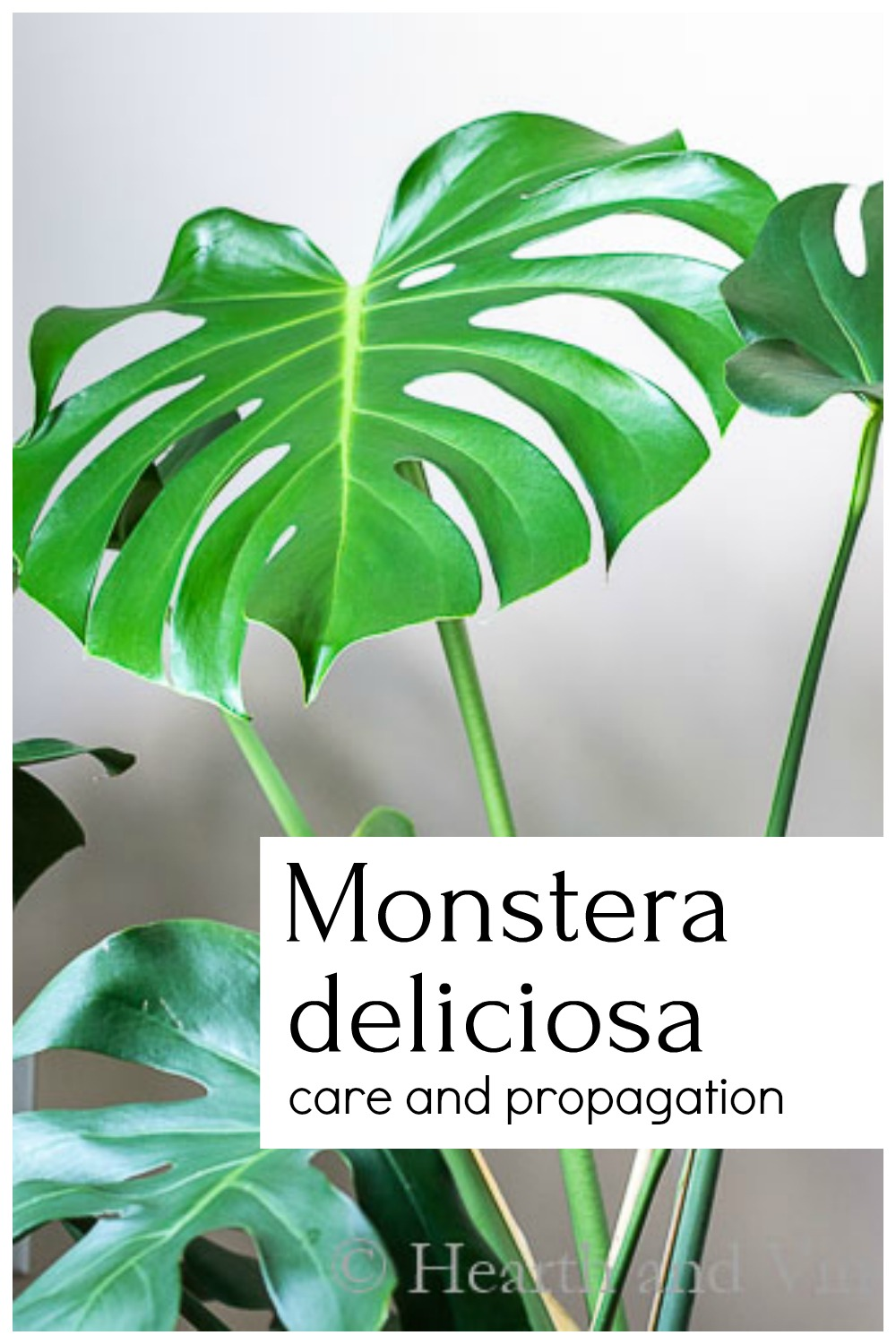 Monstera plant with text overlay