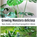Monstera plant, text and split plants below on the grass