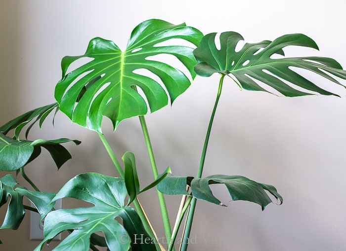 Monstera deliciosa tropical plant