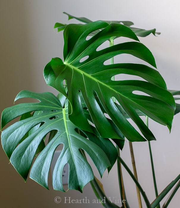 Monstera Deliciosa Care – Commonly Known As Swiss Cheese Plant