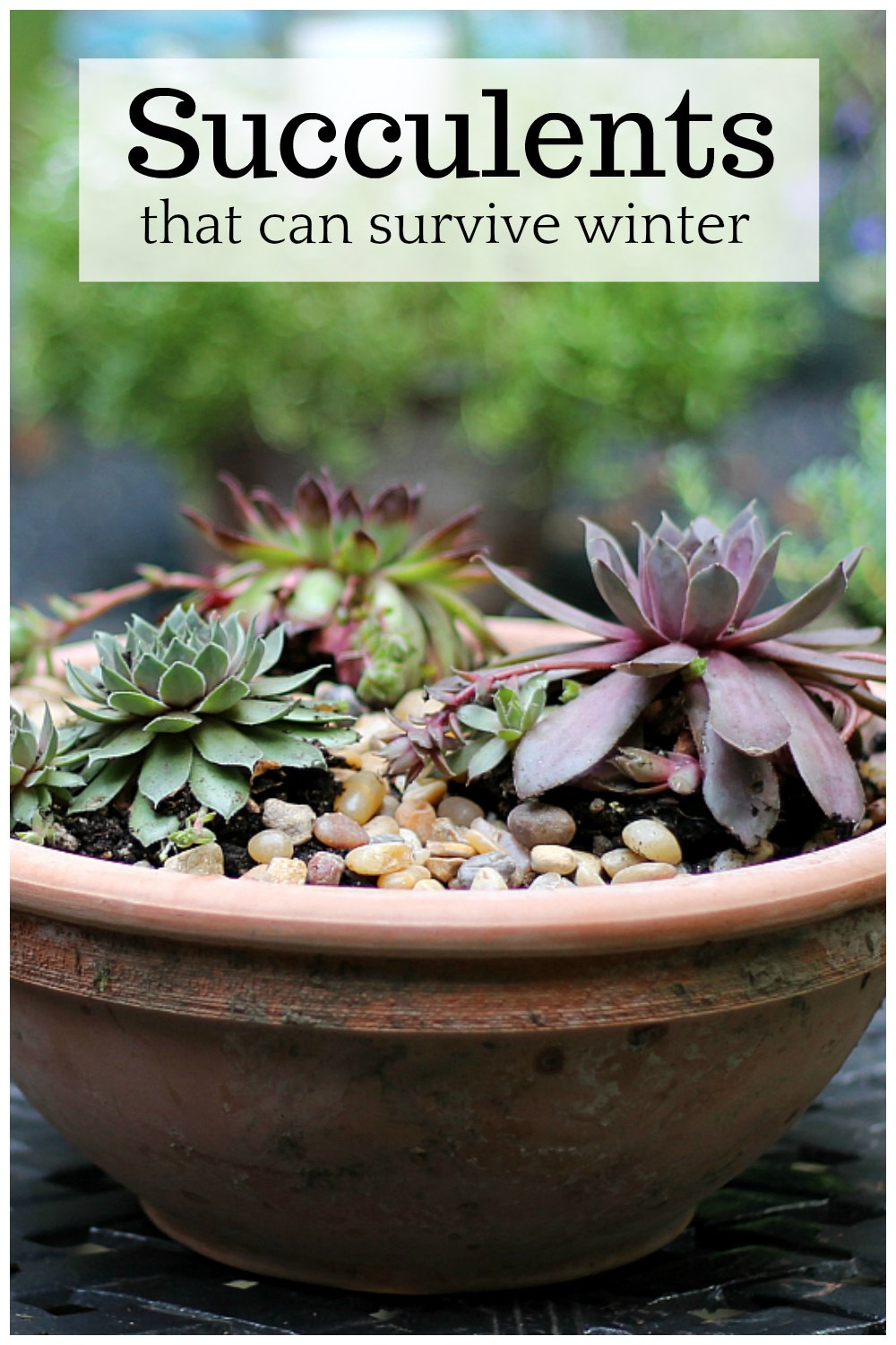 "Sempervivum in pot with text overlay ""succulents that can survive winter"""