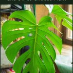 Monstera deliciosa leaf with text overly above.