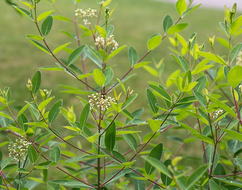Dogbane plant
