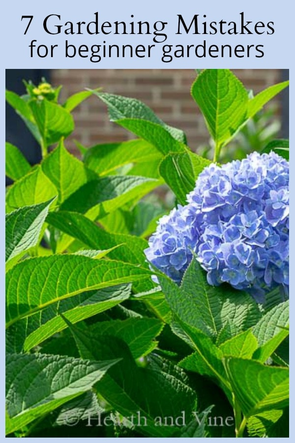 Blue hydrangea 7 gardening mistakes for beginners