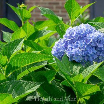 Hydrangea in flower
