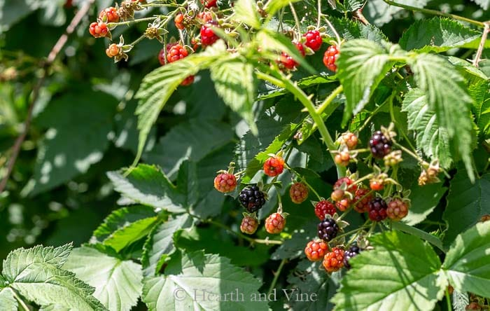 Wild black raspberries growing in shrub