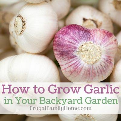 How to Grow Garlic - Shell