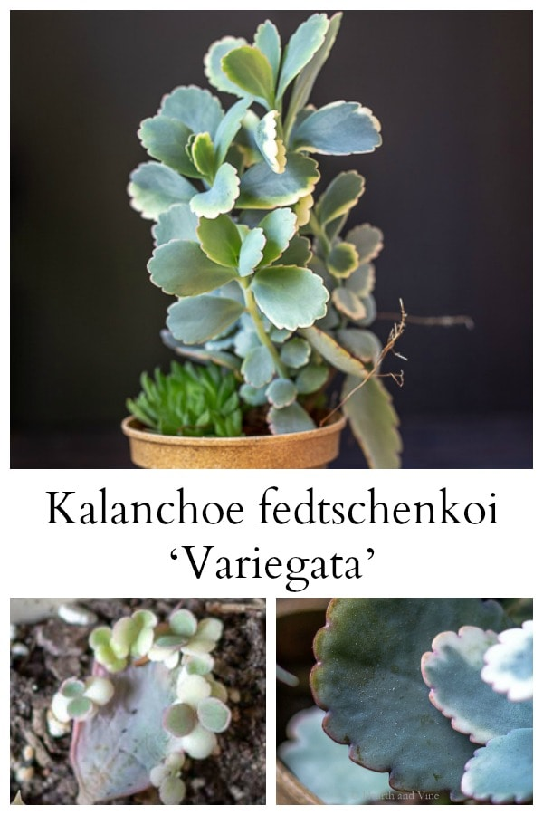collage of kalanchoe fedtschenkoi