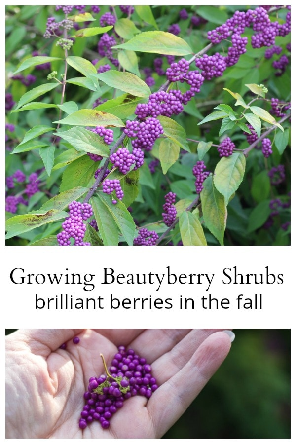 Beautyberry shrub collage
