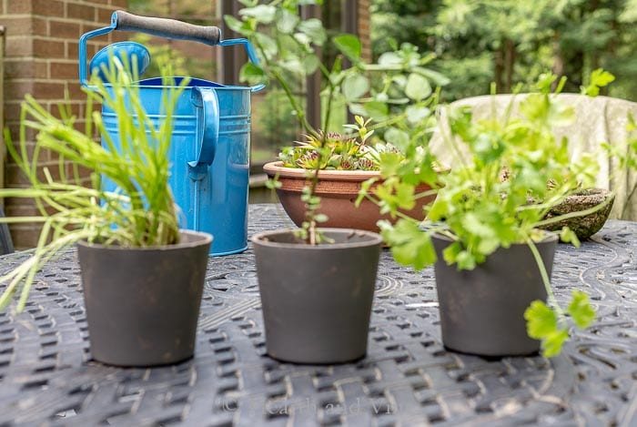 Herbs potted from the garden