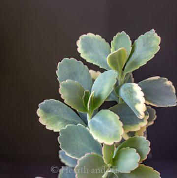 Lavender scallops plant