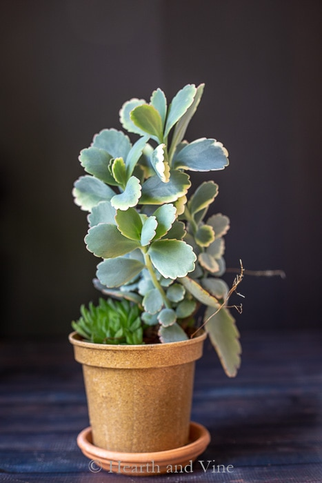 Kalanchoe Fedtschenkoi A Beautiful And Easy Houseplant