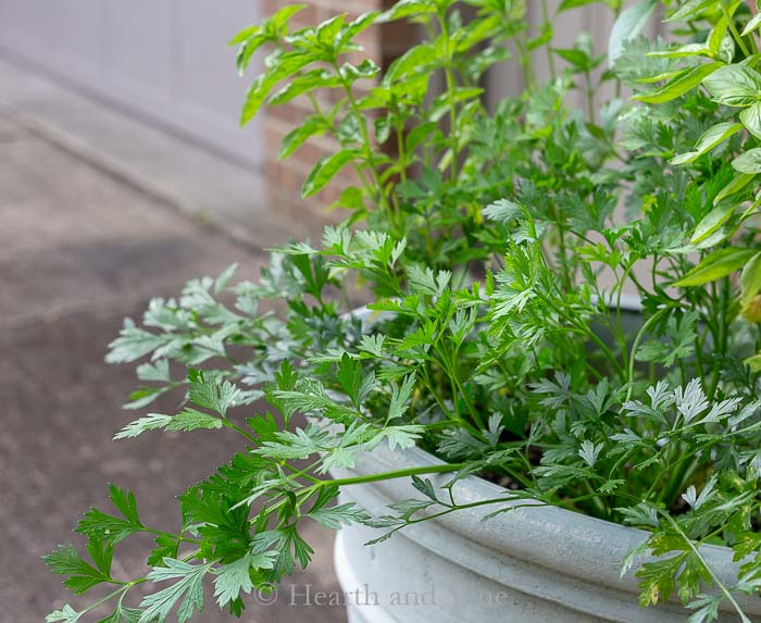 Parsley growing in the garden