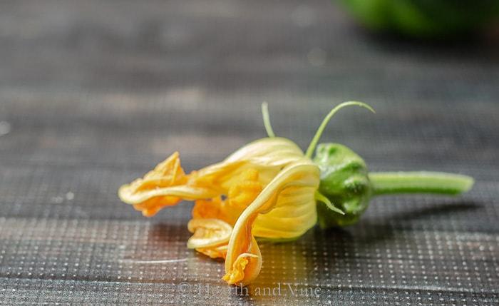 Female squash blossom