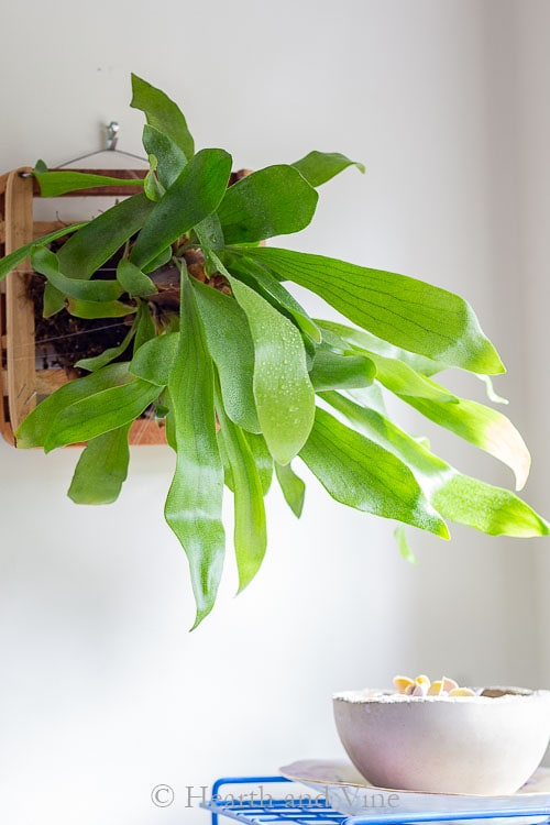 Mounted staghorn fern on wall