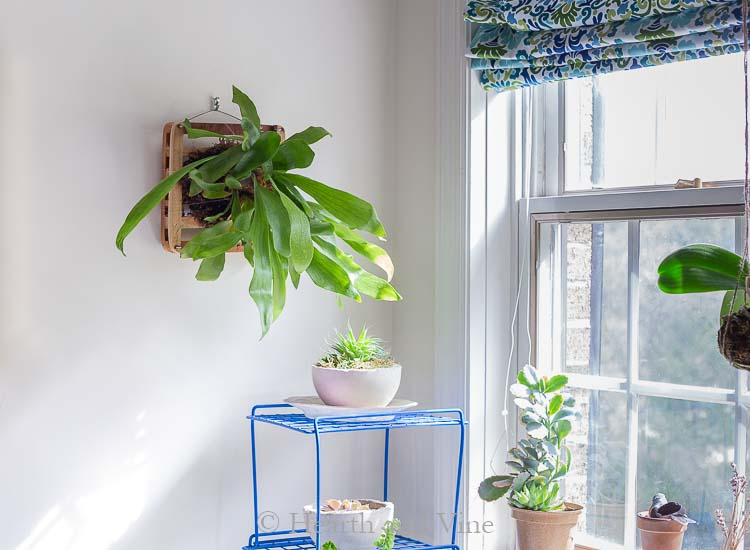 Staghorn fern near window