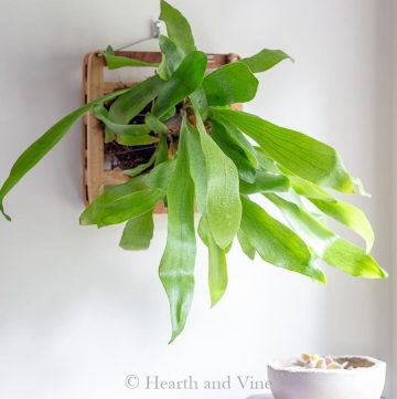 Staghorn fern mounting