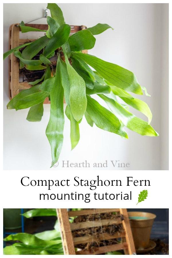 Mounting a staghorn fern
