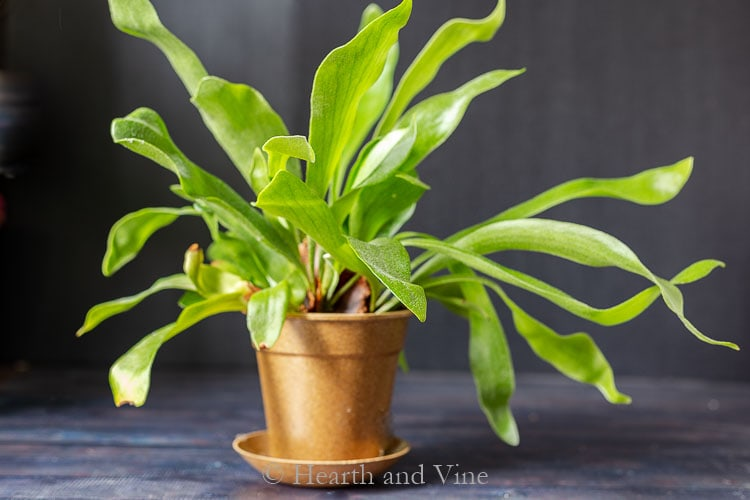 Staghorn fern in pot