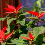 Blooming red poinsettia