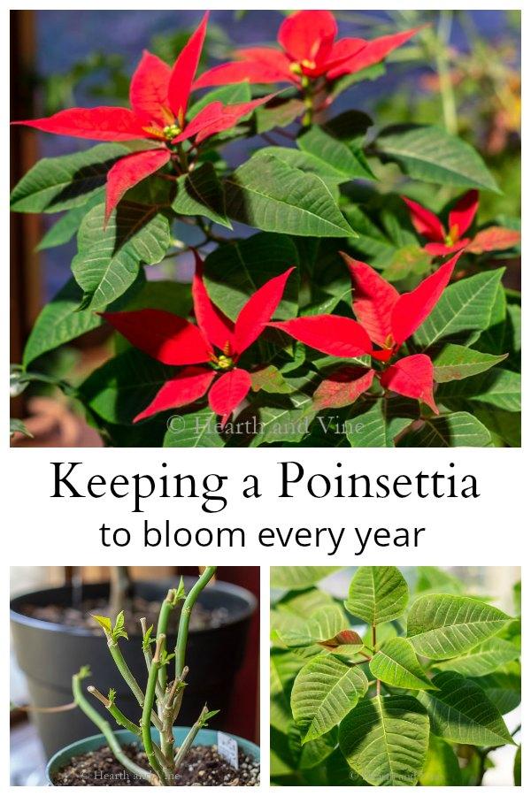 Poinsettia rebloom collage