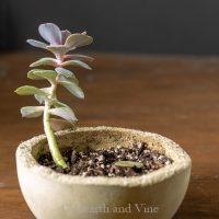 Echievera succulent tall growth