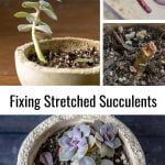 Images of a stretched succulent and cut portions of the plant above a nice compact succulent of the same in a cement pot.