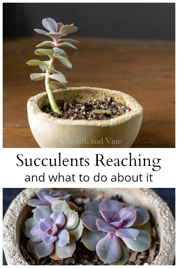 Succulents Growing Tall And Leggy
