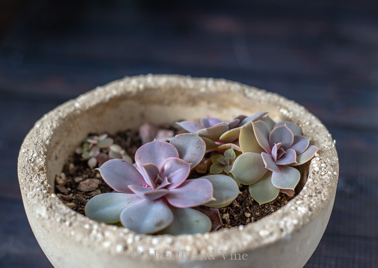 Original stretched succulent that was cut now showing nice compact growth.