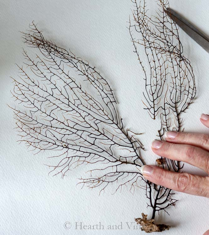Sectioning a sea fan