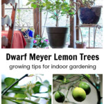 Collage of Meyer lemon images. One in a room, one of the blossoms and one of the fruit.