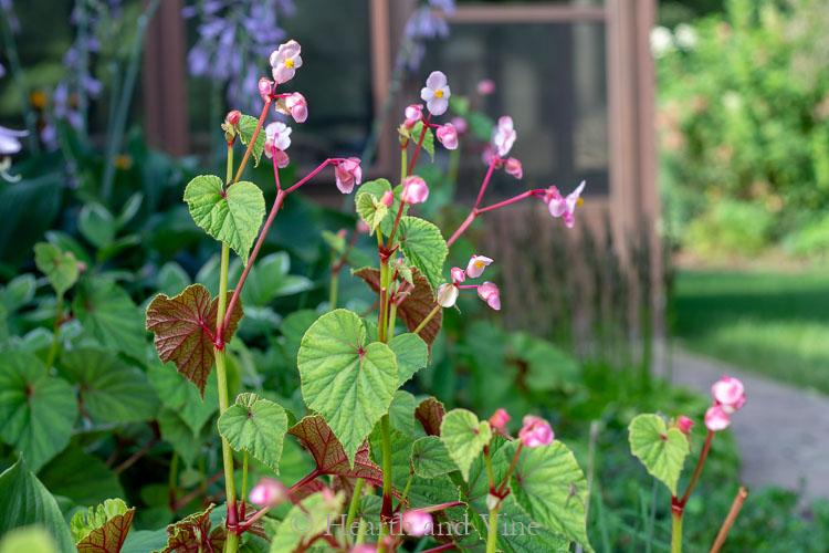 Hardy Begonia - Perennial shade plants