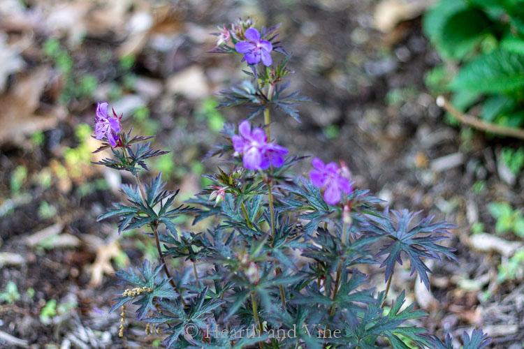 Hardy Geranium pratense 'Okey Dokey' - Perennial shade plants