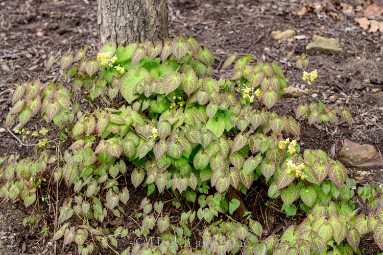 Epimedium under tree in spring - Perennial shade plants