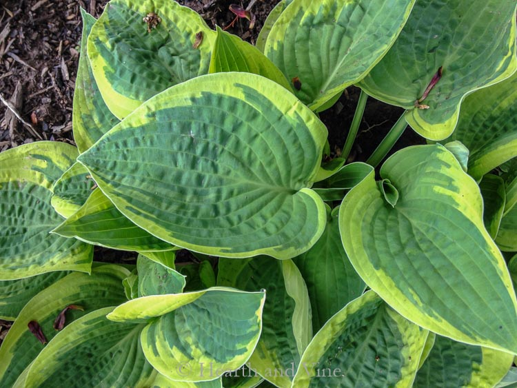 Blue hosta - Perennial shade plants