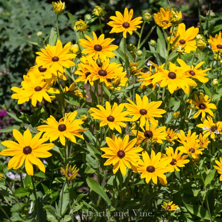 Drought Tolerant Plants - 21 Perennials You'll Love