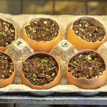 Basil plants germinating in eggshell planters