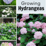 Collage of hydrangea including Invincebelle Spirit, Endless Summer, Early Sensation, and Blue Billows
