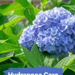 Blue hydrangea flower from an Endless Summer shrub
