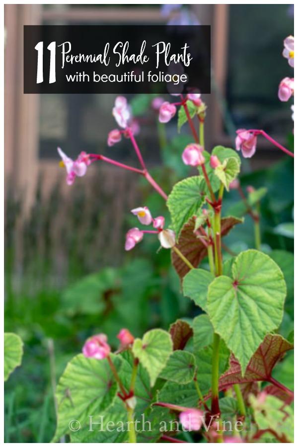 Hardy Begonia grandis - perennial shade plants