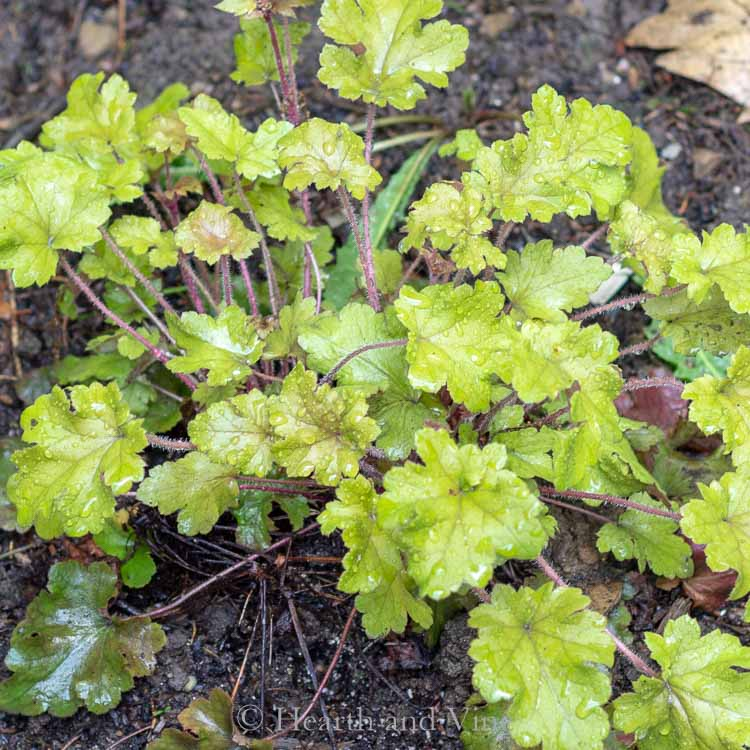 Coral bells Lime Marmalade - Perennial shade plants