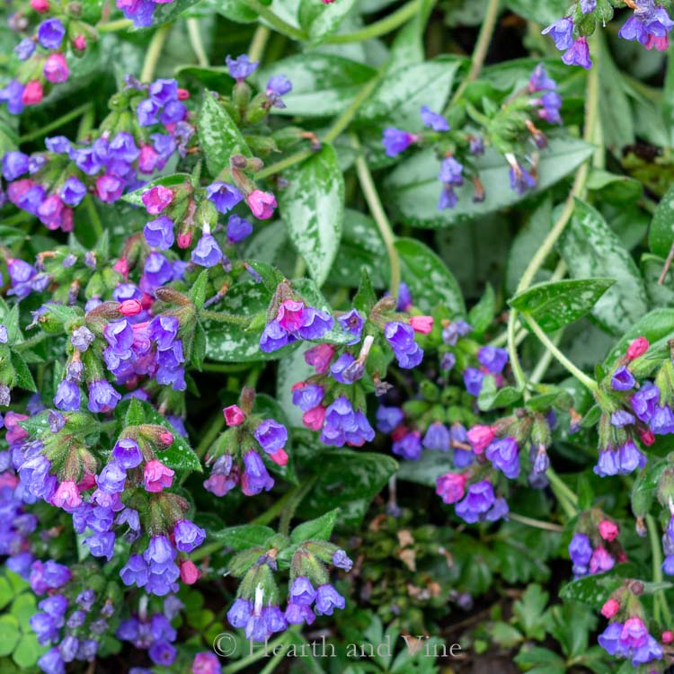 Lungwort Raspberry Splash - Perennial shade plants