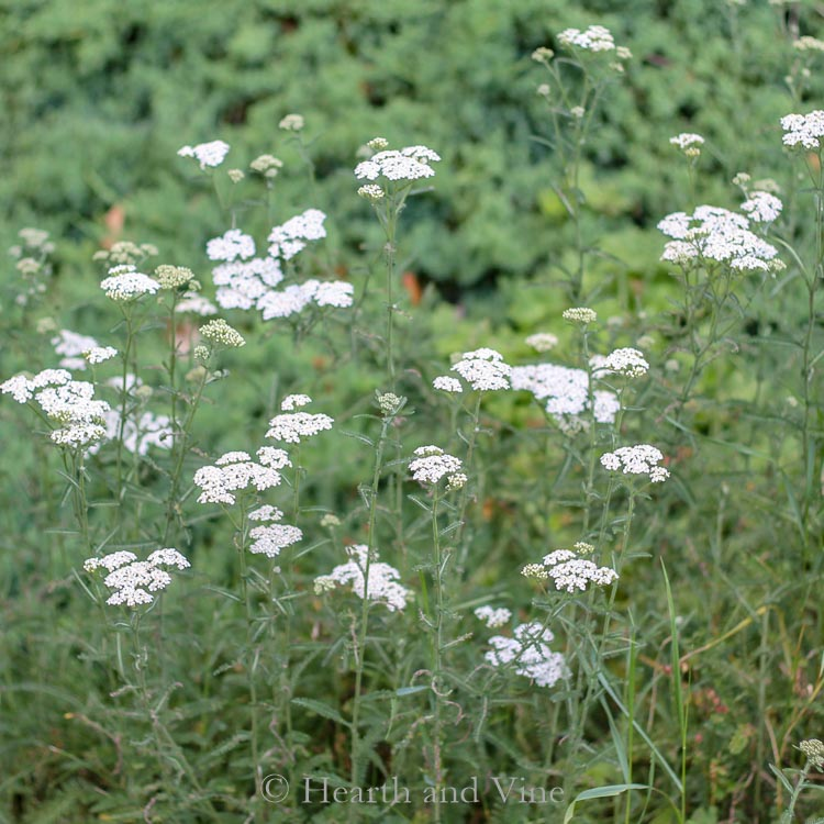 Common white yarrow