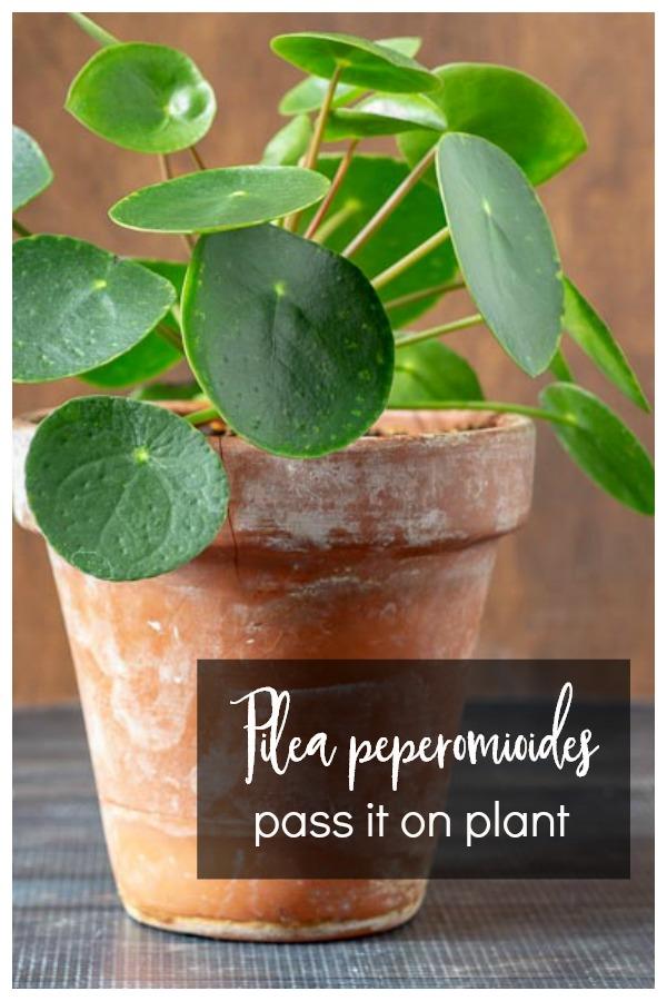 Pilea plant in clay pot